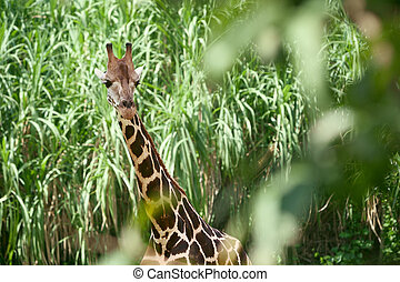 Giraffe in the green brushwood, long neck and curious face