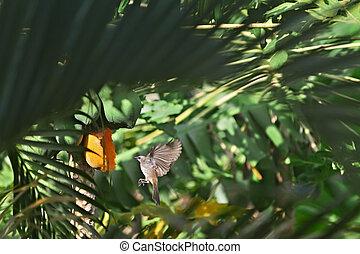 Bird eating papaya - Bulbul bird eating ripe papaya from a...