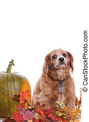 Dog Fall Portrait - An elderly Cockapoo dog is posing for...