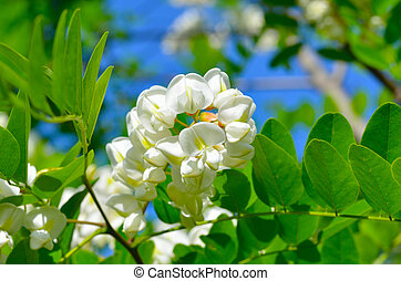 White acacia flowers on green background