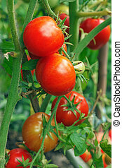 red tomatoes still on plant