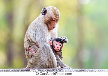 Monkey family Crab-eating macaque in Thailand