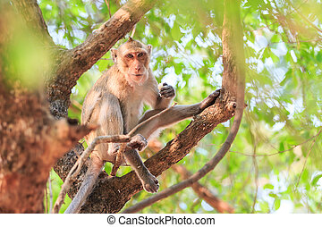 Monkey (Crab-eating macaque) eating food on tree in Thailand