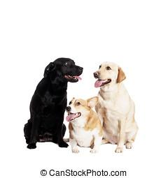 Welsh Corgi and Labrador Retriever - friendly Welsh Corgi...
