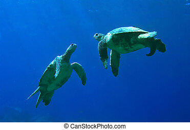 Green Sea Turtles Playing in Kona Hawaii