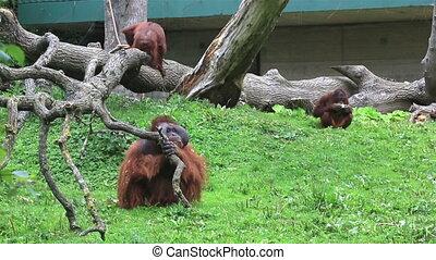 orang utan,  bornean, familie