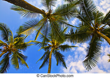 Looking up Palm Trees in Hawaii - Looking up into Palm Trees...