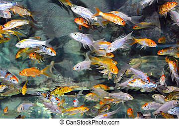 Exotic fishes  -  Exotic fishes in an Aquarium