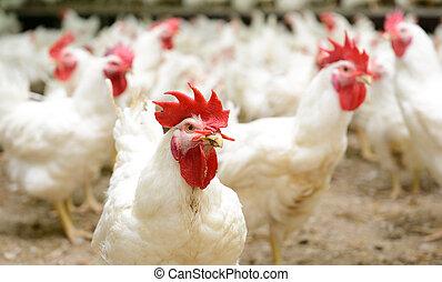 ferme, blanc, poulets
