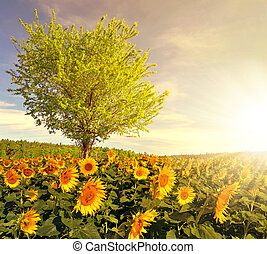 Sunflower field with tree in the sunset Spring landscape