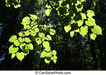 lime-tree leaves in sunlight