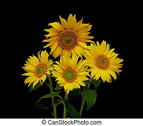 beautiful bouquet of blooming sunflowers on a black background
