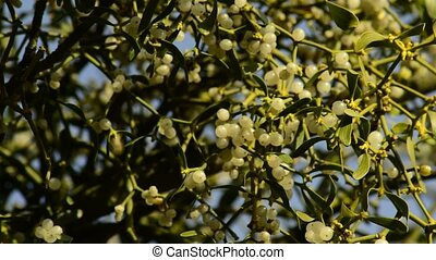 Mistletoe, ripe berries in early spring within a bald tree