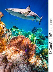 Tropical Coral Reef. - Reef with a variety of hard and soft...
