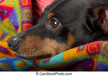 Retrato, Descansar,  pinscher, lar