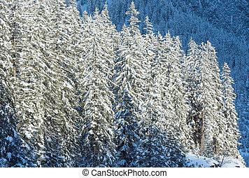 nevoso, abete, trees., ,