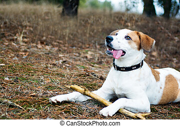 Dog with stick lying in wood - Dog with stick lying in the...