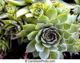 Succulent Cactus Plant - Close up of succulent cactus plant...