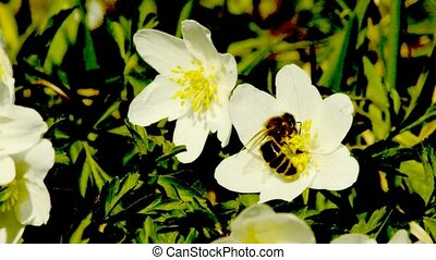 Anemone in springtime with bee