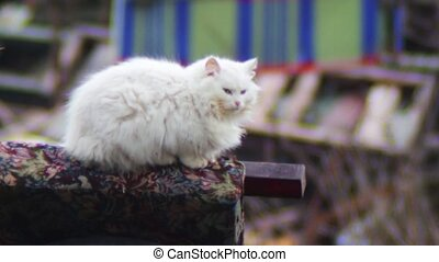 Cat that sits on car tires near - Calm white, fluffy cat who...