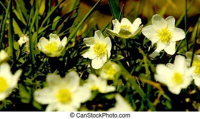 Anemone in springtime