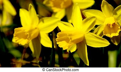 Wild daffodils, moving with the spring wind
