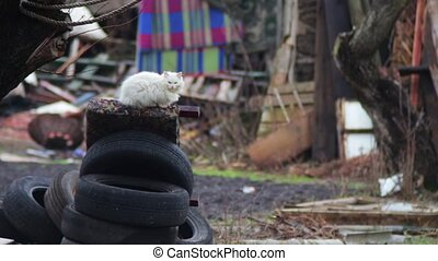 Cat that sits on car tires - Calm white, fluffy cat who sits...