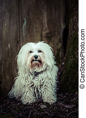 eye contact - Little White Havanese sitting in front of a...