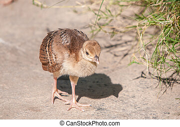 Peachick - A Peachick, which is the offspring of a Peacock...