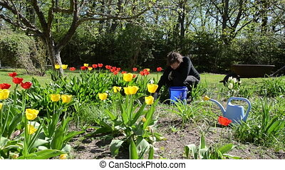 woman spring flower bed - woman look after tulip flower beds...