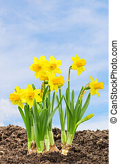 Daffodils in front of a blue sky