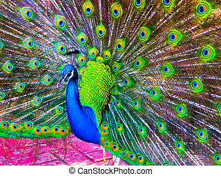 Peacock with beautiful tail
