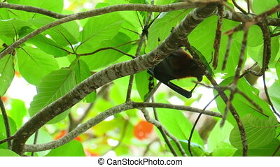 Flying fox - Lyle's flying fox (Pteropus lylei)