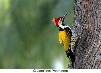 Red Head Wood Pecker - Wood pecker