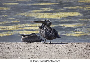 Pelicans on Malibu lagoon - MALIBU, USA - AUG 16 2013:...
