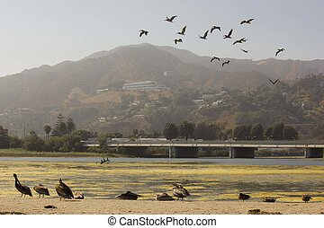 Flock of Sea Gulls migrating - MALIBU, USA - AUG 16 2013:...