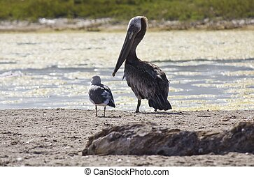 Pelican and a sea gull - MALIBU, USA - AUG 16 2013: A...