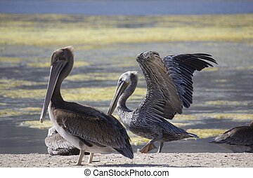 Two Pelicans on Malibu lagoon - MALIBU, USA - AUG 16 2013:...