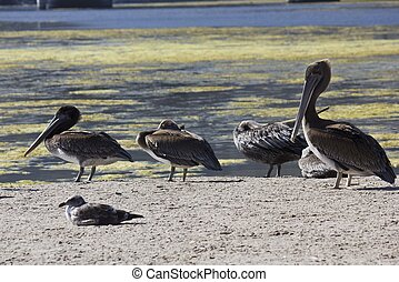 Family of Pelicans - MALIBU, USA - AUG 16 2013: Family of...