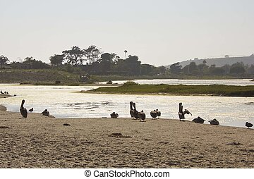 Pelicans on Malibu Lagoon - MALIBU, ISA - AUGUST 16 2013:...