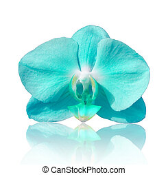 Beautiful flower Orchid, blue phalaenopsis on white...