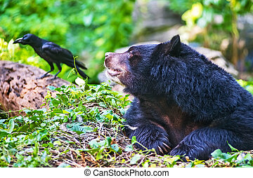 Asian black bear Ursus thibetanus in dusit zoo looking bird...
