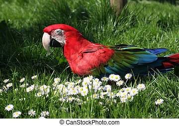 Green Winged Macaw - A green winged macaw on the ground on...