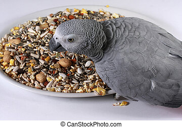 African Grey Parrot with Seed - An African Grey Parrot...