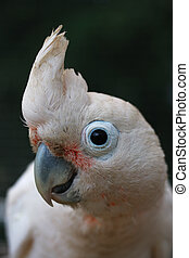 Head of Goffin Cockatoo - Lating name Cacatua goffini. Head...