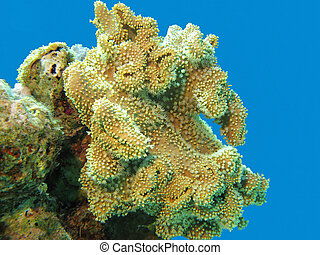 coral reef with soft yellow coral in tropical sea,underwater