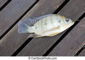 Tilapia, peixe,