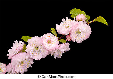 Blossoming Almond branch