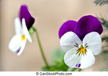 Viola - Beautiful Viola flowers