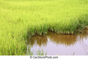 green field rice - The green field rice